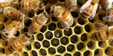 Honey bees at work - Uploaded by Amanda A