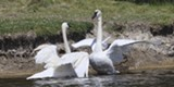 Sunriver's Trumpeter Swans - Uploaded by Amanda A