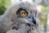 Luna, the Owl at Sunriver Nature Center - Uploaded by Amanda A