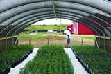 BROOKE WARREN - Mark Morley takes a business call while on his land east of Pueblo, where he is starting an outdoor marijuana grow called Los Sueños. In the foreground, pot clones are ready to plant.