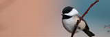 Black-capped Chickadee - Uploaded by MVH