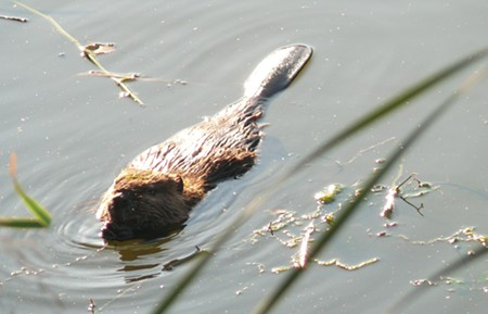 A HARDY TAIL Popular beavers in Martinez set a game-changing precedent for a new family of dam-builders in Glen Ellen. - CHERYL REYNOLDS - WORTH A DAM