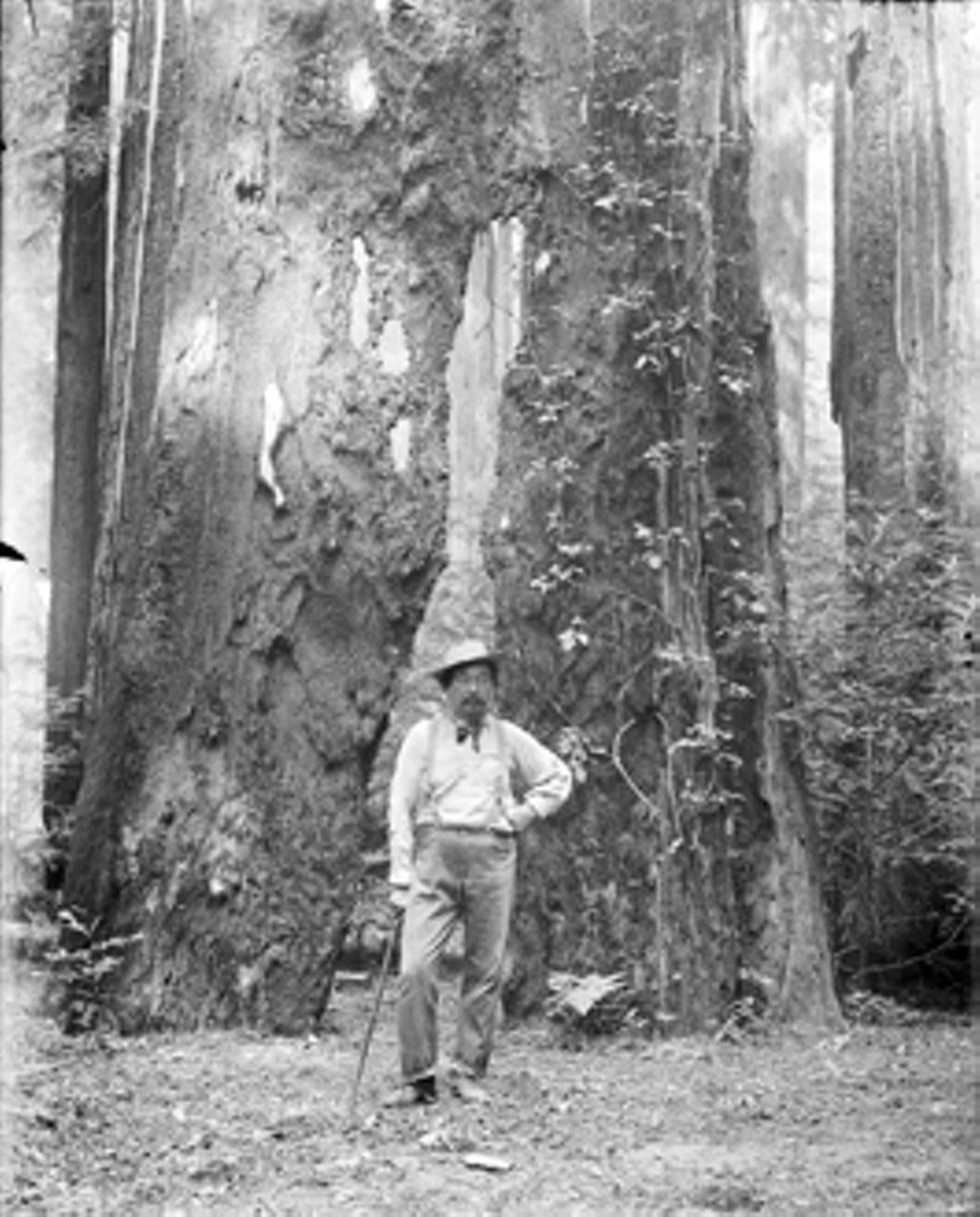 bohemian grove logging edging closer culture north bay bohemian courtesy bancroft library