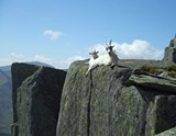 goats_jpg-magnum.jpg