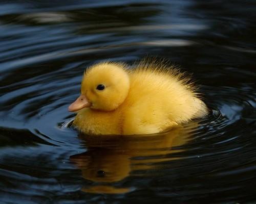 duckling01.jpg