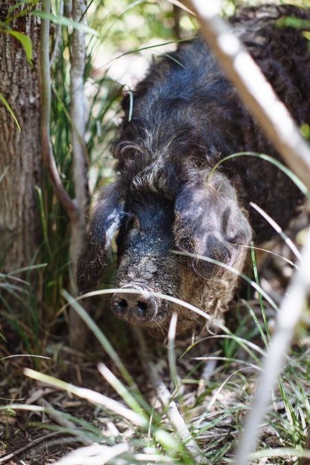 FAT BACK The Mangalitsa is an Old World pig whose name means 'hog with a lot of lard.' - MICHAEL WOOLSEY