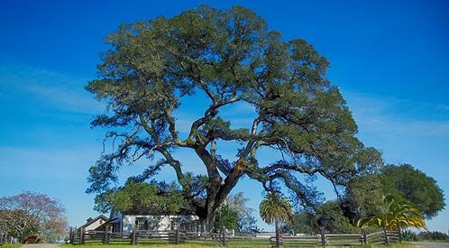jacks-oak.jpg