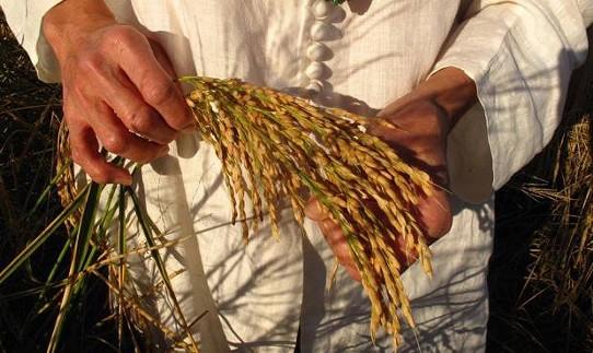1505.rice.jpg