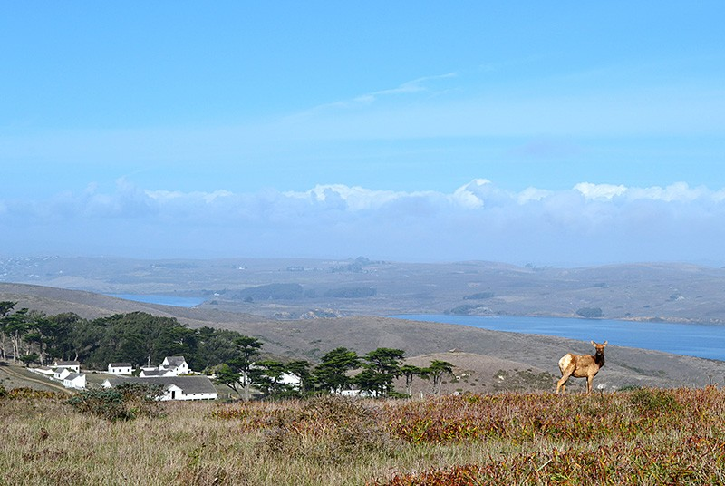 GO FORTH AND MULTIPLY Ten tule elk were reintroduced to the Point Reyes National Seashore in 1978 to shore up the breed's dwindling numbers in California. - JAMES KNIGHT