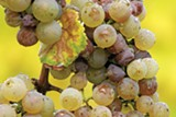 HORROR OR BLESSING? Botrytis, often reviled, has taken on a new cachet among certain winemakers.