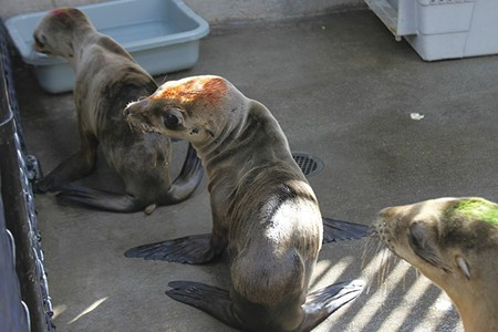 HUNGRY EYES Weak and emaciated sea lion pups are turning up on local beaches in great numbers this year. - SARAH VAN SCHAGEN @ TMMC