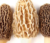 Morel 