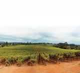 OLD WAYS: Dehlinger Winery's estate vineyards in Sebastopol have been dry farmed since 1975. - SARA SANGER