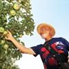 Sonoma Antique Apples