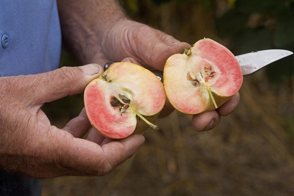 TO THE CORE Phil Pieri specializes in uncommon fruits like the pink pearl apple, shown. - MICHAEL AMSLER