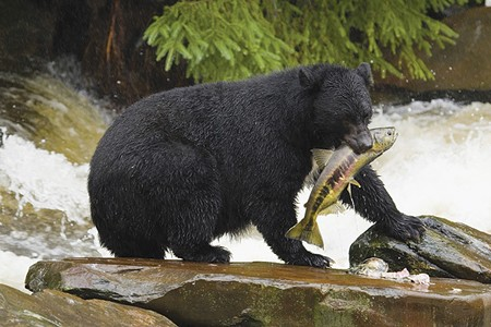 BEAR IN MIND California's black-bear population is about 30,000. In 2013, hunters shot 1,002 of the animals.