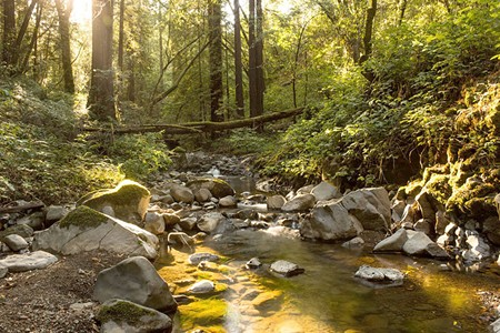 Fish live here: Felta Creek is one of the last streams in the Russian River watershed where endangered coho spawn. - ROMAN CHO