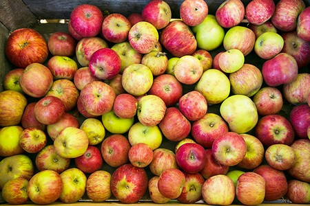 APPLE JACKS  Sonoma County chefs will offer creative takes on apples at this year's Gravenstein Apple Fair.