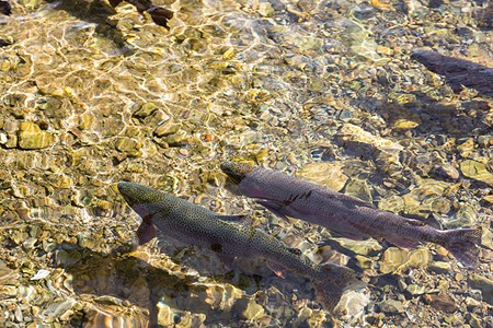 TROUBLED WATERS  Healdsburg's Felta Creek is one of of the last coho salmon spawning creeks in Sonoma County.