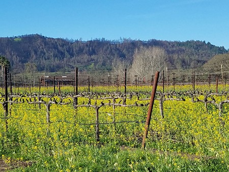 CYCLE OF LIFE Mustard flowers and cover crops grow between vines near Tubbs Lane, where fire scars still blacken the hills where the Tubbs fire started.