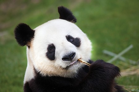 NOT DOING A GREAT JOB Panda preggers? Didn't happen. Sad.