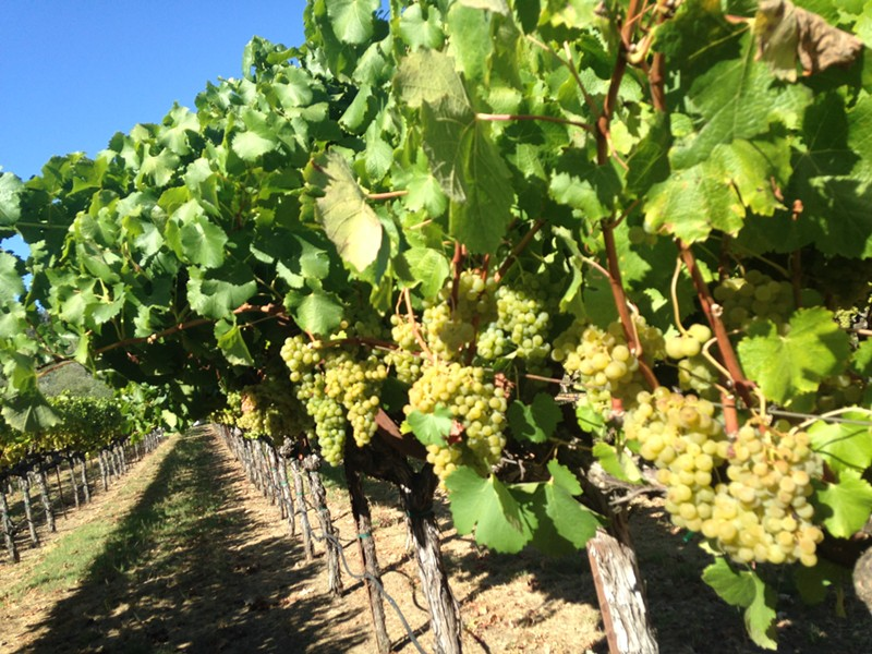 Yes, we plucked a couple grapes from these vines on our way back to the courtesy van. - LYNDA RAEL
