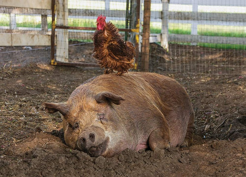 """Animal Friends A rooster named """"Greasy"""" and his pig friend star in 'The Biggest Little Farm.'"""