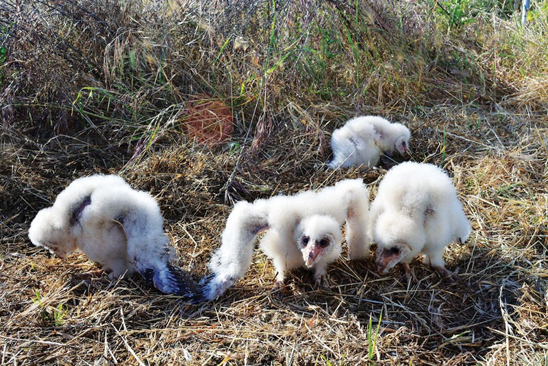 GOPHERS BEWARE These awkward-looking owlets will soon grow to be effective rodent hunters.