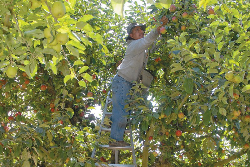 LAND OF PLENTY  The Gravenstein apple is the pride of Sonoma County, but if the fruit is going to survive, - growers need to be paid more for their crop, says farmer Stan Devoto. - KAREN PREUSS