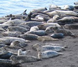 Feb. 13: Seal Watch in Bodega