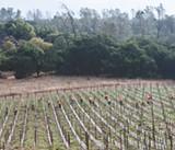 A Vine Mess