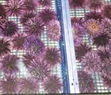 Urchin Matters