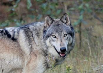 Golden State Wolf