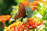 27b2ff56_butterfly_pipevine_swallowtail_400x600mk_img_0392.jpg