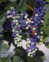 09e7e4c7_donnaschaffer-grapes-72.jpg