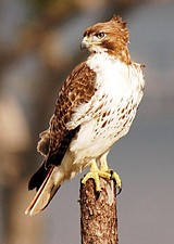 05654e1e_red_tailed_hawk_11.jpg
