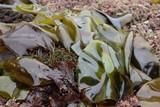 512992a4_seaweed_5.jpg