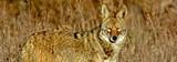 e1980508_coyote_carlosporrata.jpg