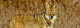 8f690711_coyote_carlosporrata.jpg