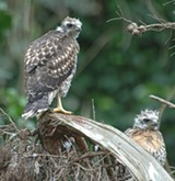 75353bd1_juvenile_red_tailed_hawks.jpg