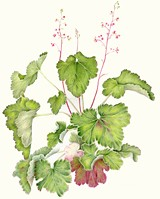 85ab3c0c_heuchera-_low_res.jpg