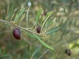 af17f2e8_shed_olives_02-300x200.jpg