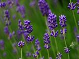 2e604183_lavender-1402338332d8h-620x369.jpg