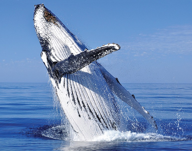 WHALE OF A SEASON Whales, like this humpback, have been showing up in large numbers in Northern California waters.