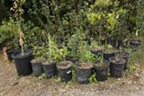 WHY NOT TRY IT? Some rare fruits must be grown in greenhouses, but many thrive outdoors in Sonoma County's climate. - MICHAEL AMSLER