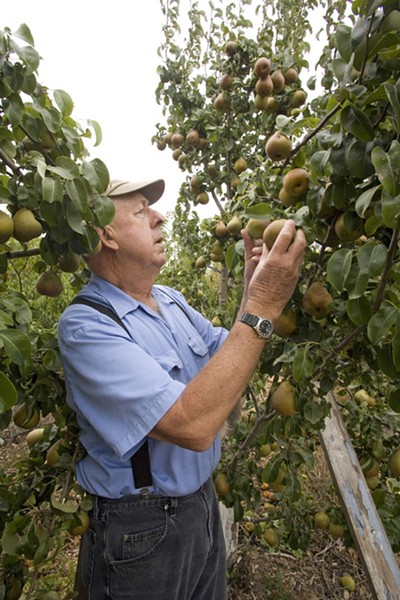 WORKIN' MAN Phil Pieri in his orchard. - MICHAEL AMSLER