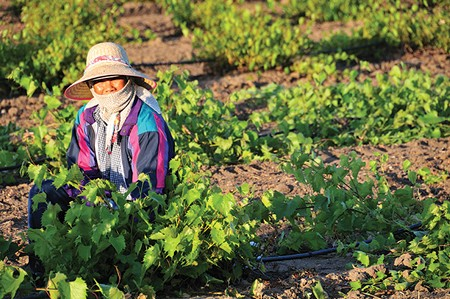 WORKING FOR YOUR FOOD California's largely immigrant field workers would benefit from Obama's executive action—but only if they qualify. Many do not. - RICHARD THORNTON