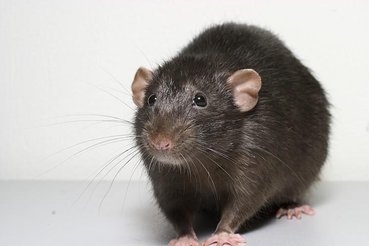 A real rat. A real cute rat. A real, cute rat! - PHOTO BY ALEXEY KRASAVIN VIA FLICKR