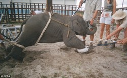 "A young elephant being ""trained"""