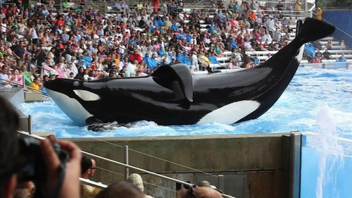 ANIMAL ABUSE: The Academy failed to nominate Blackfish for Best Documentary Feature, thus curtailing awareness of an important issue. (Photo: Magnolia)